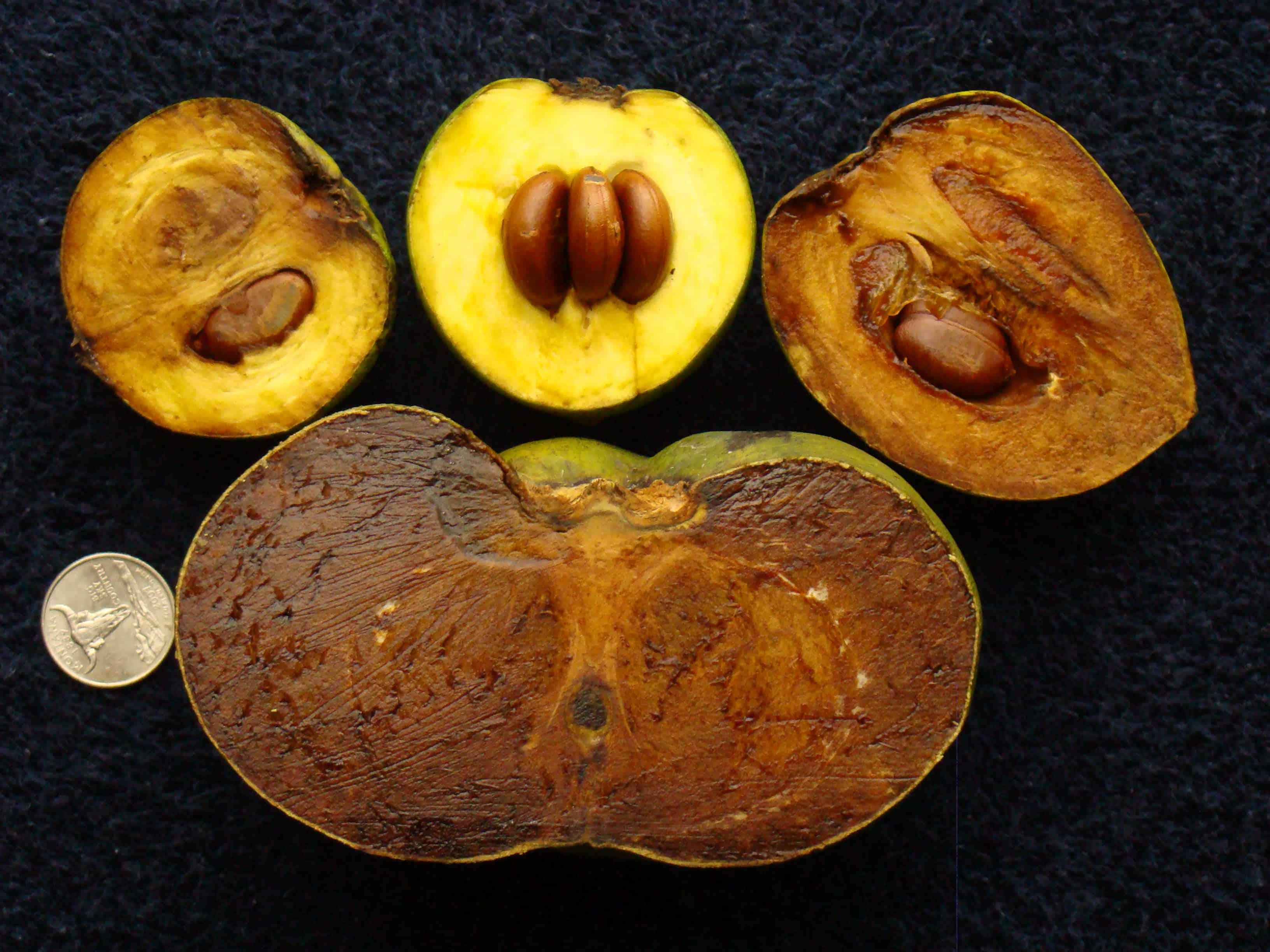 Schwarze Sapote: Schokofrucht und Superfood (Quelle: Wikipedia)